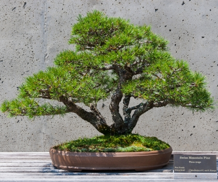mugo: A bonsai miniature of a Swiss Mountain Pine  tree on display at the  North Carolina Arboretum. Asheville,NC. Stock Photo