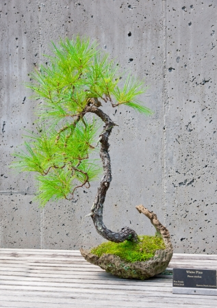 A bonsai miniature of a White Pine  tree on display at the  North Carolina Arboretum  Asheville,NC  photo