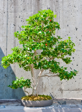 A bonsai miniature of a Surinam Cherry   tree on display at the  North Carolina Arboretum  Asheville,NC  photo