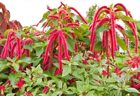 Amaranthus Caudatus flowers, known as Love Lies Bleeding.