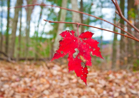 Last red maple leaf in autumn forest. photo