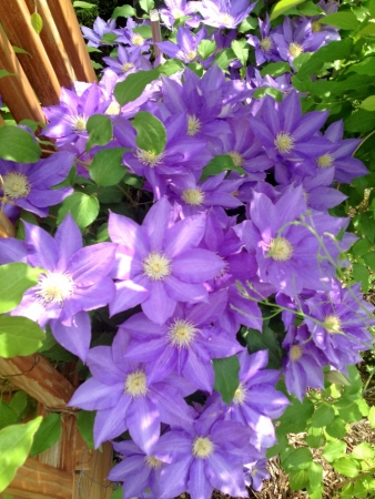 clematis flower: Star shaped clematis flower heads.
