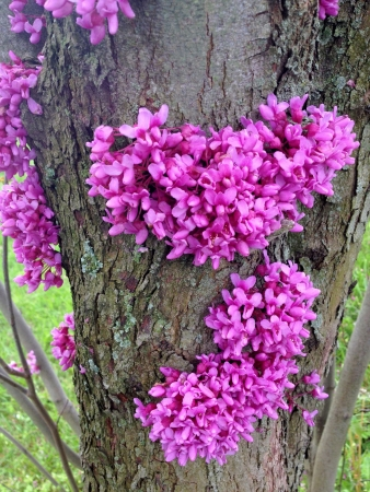 redbud: Heart shaped clusters of redbud tree flowers at spring Stock Photo