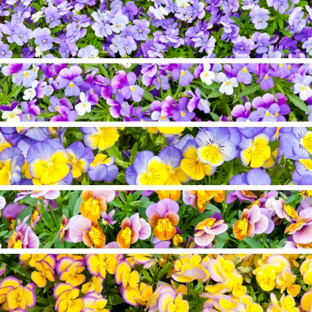 Collage banners with 5 different colors pansies flowers  Natural gradient from yellow to blue  photo
