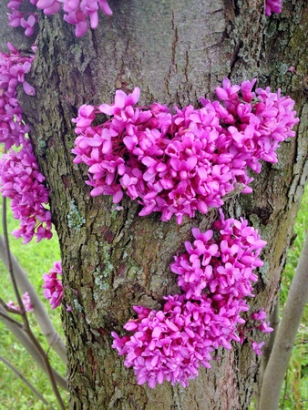 redbud tree: Redbud tree blossom at spring Stock Photo