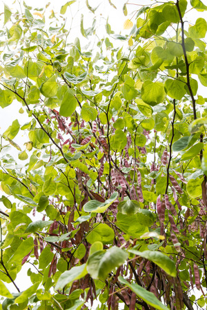 redbud: Closeup of redbud tree with seeds, nature background, selective focus