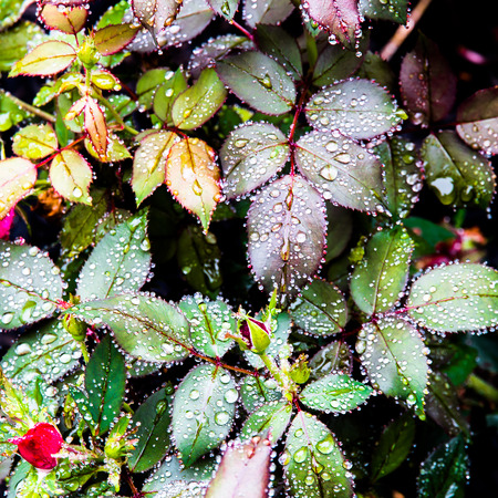 Nature background, rose flower leaves after rain. photo