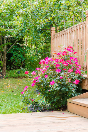 knock out: Knock out rose bush in the garden at backyard near patio, selective focus
