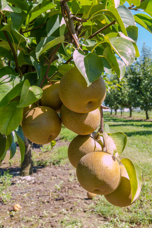 asian pear: Cluster of fruits of Asian pear (Pyrus pyrifolia) in orchard Stock Photo