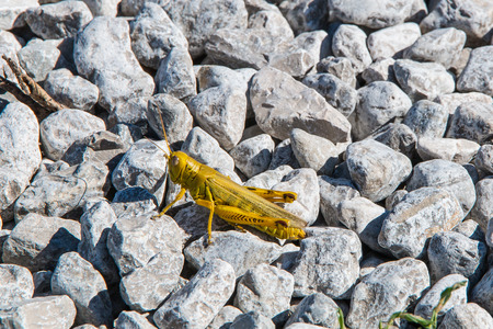 caelifera: Grasshopper insect on gravel background