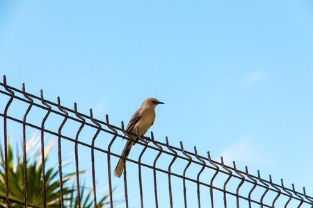 mockingbird: Tropical Mockingbird on steel fence. Stock Photo