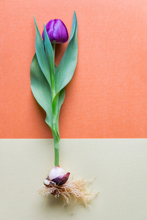bulb tulip: A single magenta  tulip whole with bulb and roots. Bicolor textured paper background.