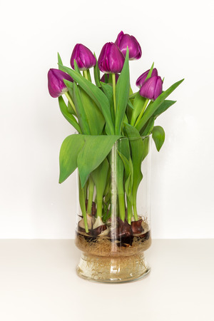 Magenta Tulips Growing In Water In A Glass Vase Bulbs And Roots