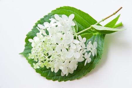 White hydrangea flower on green leaf. selective focus, shallow dof Фото со стока
