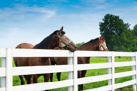 horse fly: Horses wearing fly masks in summer at horse farm.