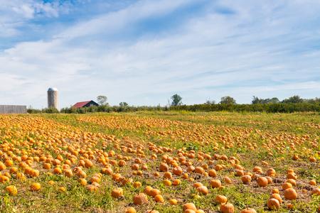 米国ケンタッキー州に国ファームでカボチャのフィールド。  秋の風景です。