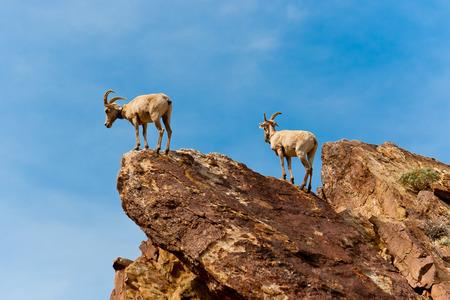 rocky mountain bighorn sheep: Desert Bighorn Sheep in Anza Borrego Desert State Park. California, USA Stock Photo