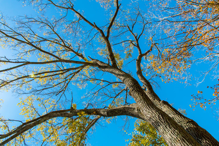 Looking up at big autumn tree and blue sky. Sunny day,  Lens flare. Stock Photo