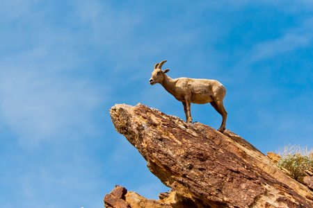 Desert Bighorn Sheep in Anza Borrego Desert State Park. California, USA Stock Photo