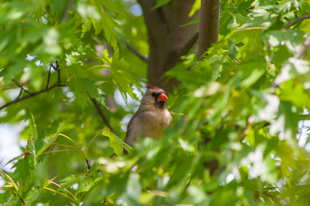 female cardinal: Female Northern Cardinal bird (Cardinalis cardinalis) hiding in lush greenery of maple tree. Selective focus.