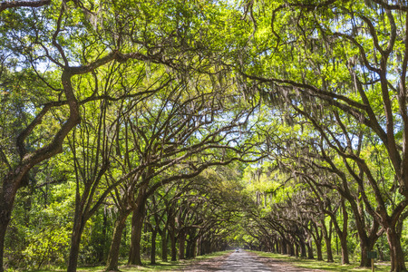 Long road lined with ancient live oak trees draped in spanish moss at historic Wormsloe Plantation & Canopy Of Old Live Oak Trees Draped In Spanish Moss At Historic ...