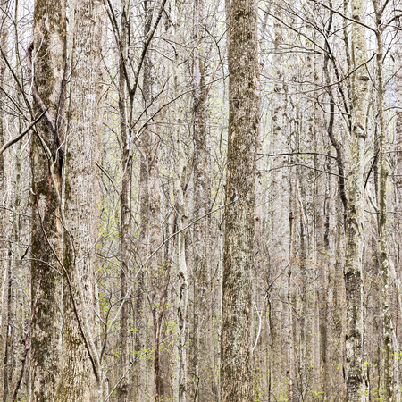 thick growth: Thick forest in early spring, tree trunks natural background. Stock Photo