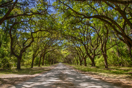 Long road lined with ancient live oak trees draped in spanish moss at historic Wormsloe Plantation in Savannah, Georgia, USA