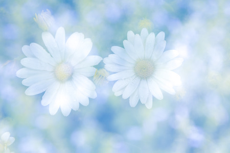 Abstract double exposure image with blurred daisy flowers on natural background.