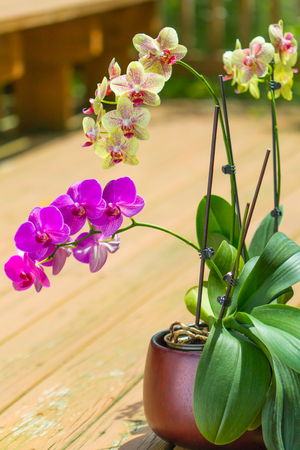 Beautiful purple and yellow orchid flowers phalaenopsis on outdoor patio. Selective focus, shallow dof.
