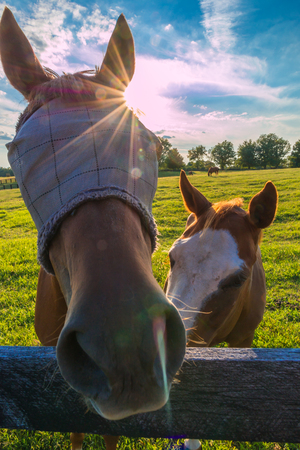 Horse wearing fly masks at horse farm in summer. Sunny day, sun beams, lens flare.