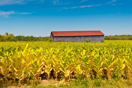 Paesaggio del paese con campo di piante di tabacco e fienile.