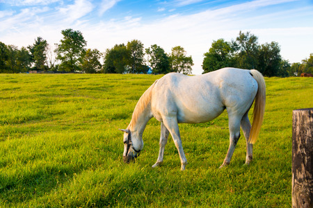 White horse at green pastures of horse farm. Country summer landscape.
