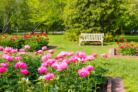 Blooming  peony flowers in park garden. Stock Photo