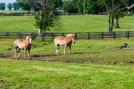 Two brown draft horses on farm land.