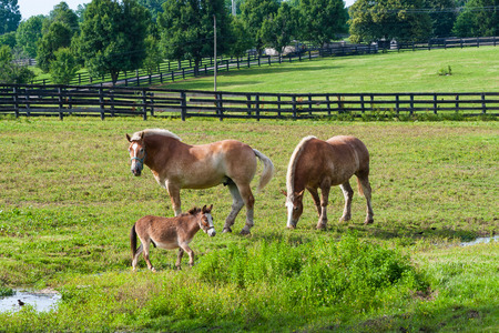 Two brown draft horses and a miniature horse on farm land.