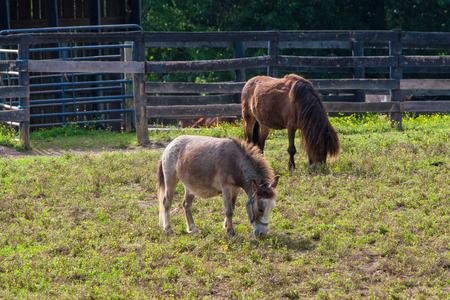 Miniature horses at farm land.