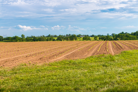 Rows of young lettuce plants on farm field. Country landscape. Stock Photo