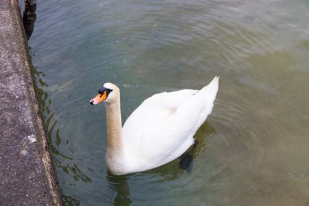 White Swan swimming in a lake near shore, waiting for food. Banque d'images