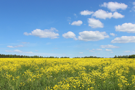 panorama of a yellow rape field in the summer Standard-Bild