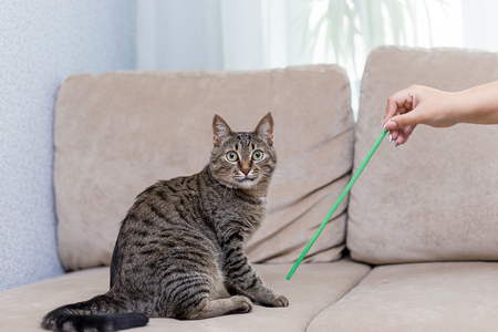 cute tabby cat playing with a toy stick