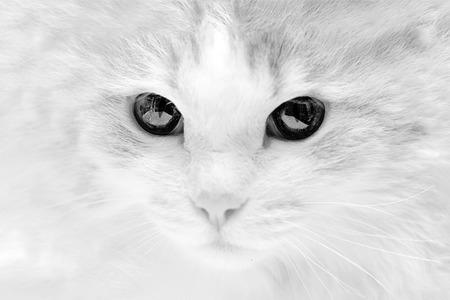 a rabid evil sick cat with black eyes Stock Photo