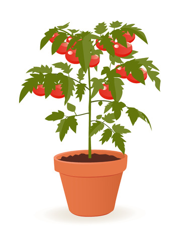 tomato plant: Tomato plant in pot isolated on white background