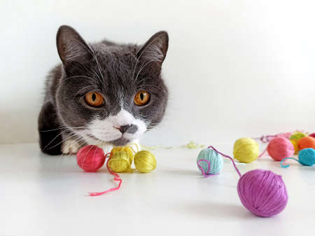 The cat of the British breed is entangled in the threads. Reklamní fotografie