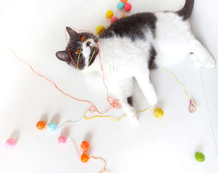 The cat of the British breed is entangled in the threads. Stock Photo