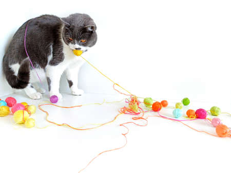The cat of the British breed is entangled in the threads.