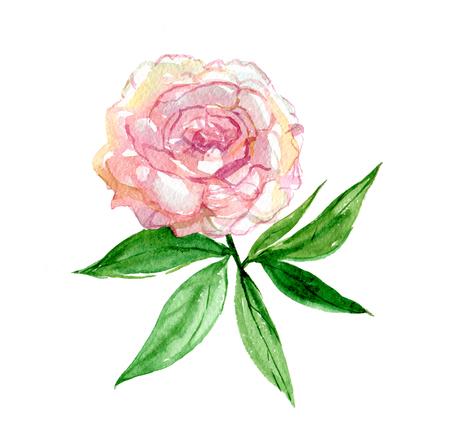 Rosa Pfingstrose mit den Blättern lokalisiert auf weißem Hintergrund, Aquarellillustration Standard-Bild - 96526095