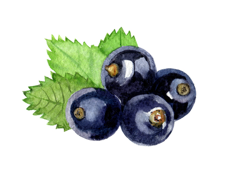 black currant isolated on white background, watercolor illustration