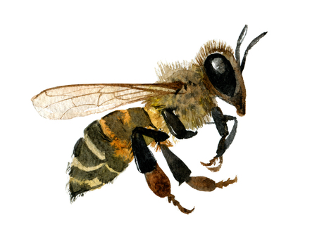 Watercolor illustration of honey bee on white background