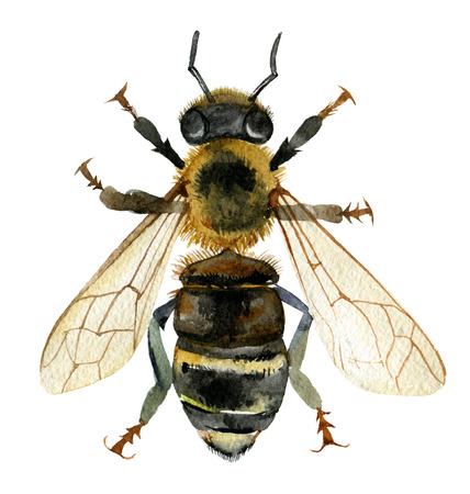 Bee isolated on white background, watercolor illustration Standard-Bild - 116495966