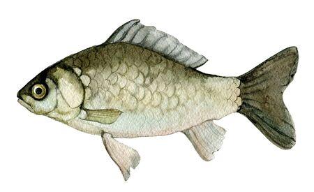 Carp isolated on white background, watercolor illustration Foto de archivo - 135833998